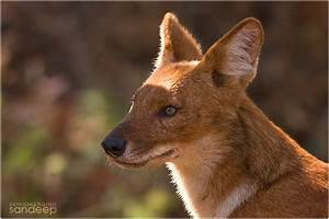 Encounter: Dhole - the Indian wild dog-The Green Ogre
