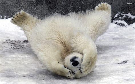 Baby Polar Bear Wallpaper ·①