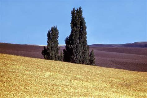 Our Daily Sykes #407 - Poplars in the Palouse | DorpatSherrardLomont