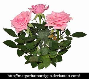 Rose Plant Png