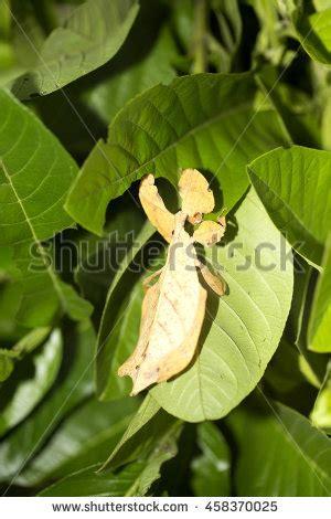 phyllioidea clipart clipground