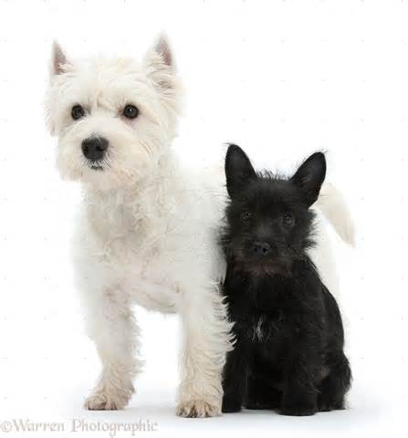 Black West Highland Terrier Puppies