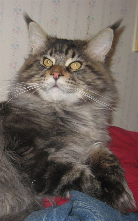 maine coon cat breeder kittens  ny pa