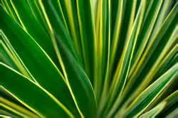 Yucca Palme Braune Blätter : yucca palme k rzen das sollten sie beim r ckschnitt beachten ~ Lizthompson.info Haus und Dekorationen