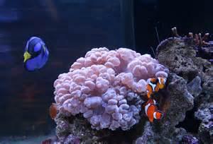 Blue Tang and Clown Fish