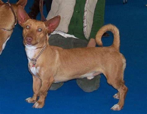 andalusian hound maneto wikipedia