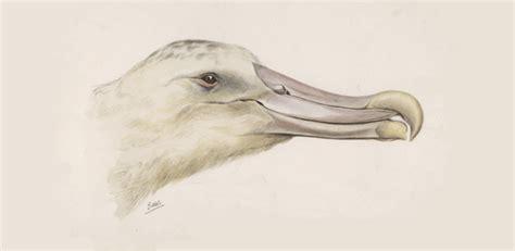 albatross  legendary giant seabird university