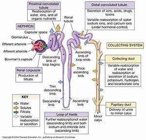 85 Best Images About Urinary System On Pinterest