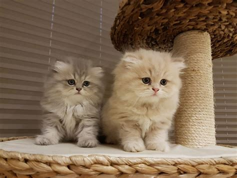 Kittens For Sale by Stunning Chinchilla Cats For Sale Leatherhead