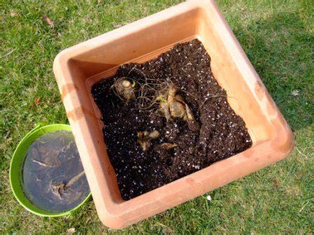 dahlien pflanzen zeit pflanzenlust karin greiner dahlien pflanzen