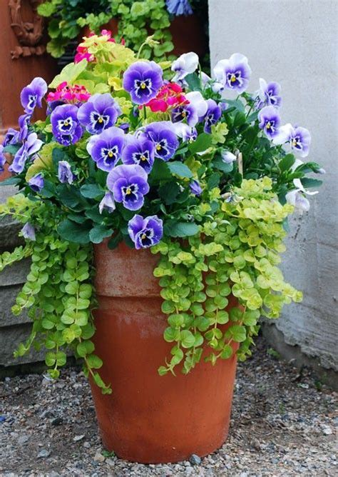 container planting pansies creeping