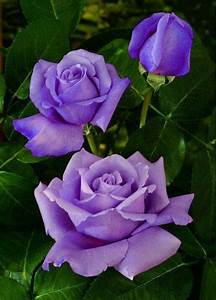 #purple #rose #garden #love | Purple roses | Pinterest