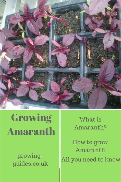 growing amaranth growing guides