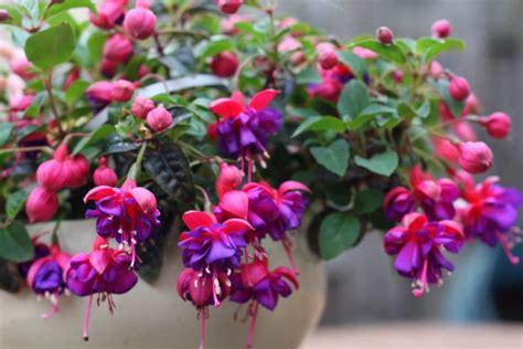 piante con fiori fucsia coltivare la fucsia in vaso i consigli per non sbagliare