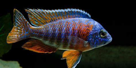 most colorful cichlids 10 most colorful freshwater fish the aquarium guide
