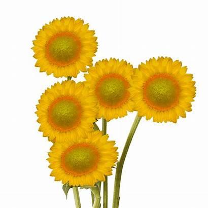 Sunflowers Center Centered Fresh Globalrose Delivered Sunshine