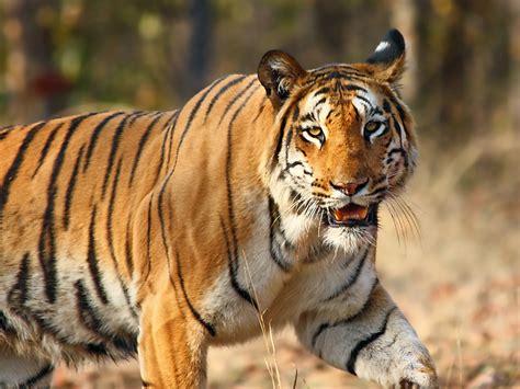Wildlife of India Wikipedia