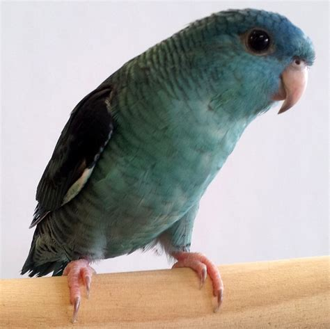 lineolated parakeet lineolated parakeet facts care as pets behavior price pictures singing wings aviary