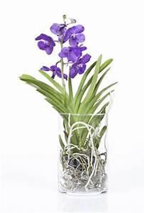 Orchidee Vanda Pflege : vanda orchidee pflege im topf und im glas ~ Lizthompson.info Haus und Dekorationen