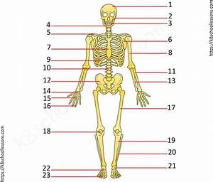 Skeletal System Quiz Worksheets