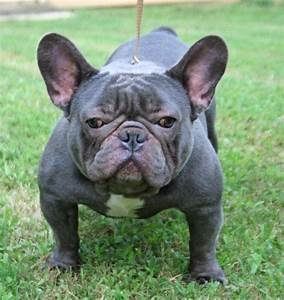 31 Wonderful French Bull Dog Pictures And Images