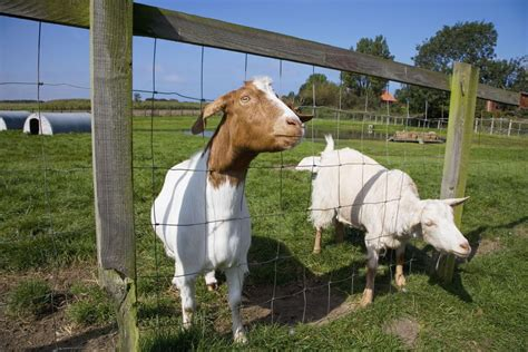 choose meat goat breeds   small farm
