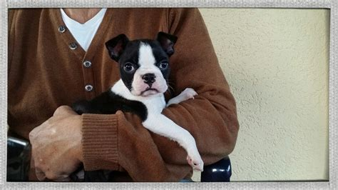 Boston Terrier Im Tierheim