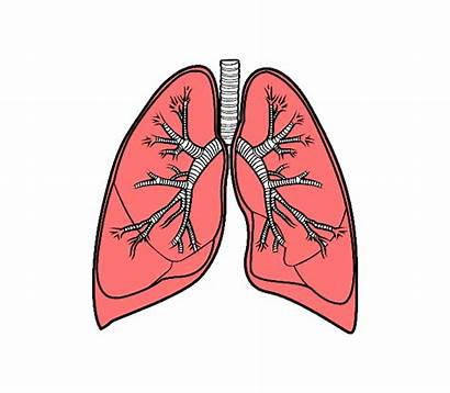 Lungs Lung Transparent 3dpng