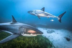 How To See Great White Sharks In The Wild