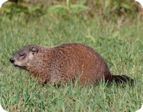 woodchuck groundhog removal and control professional