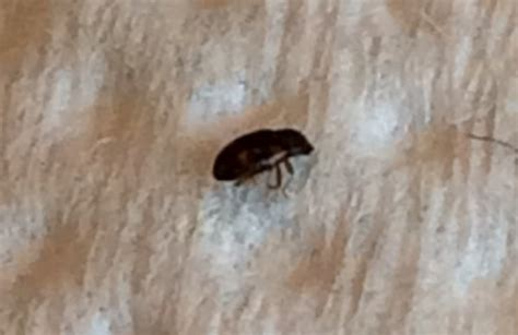 Carpet Beetles In My Bed   Possibly Black Carpet Beetles   Whats That Bug?