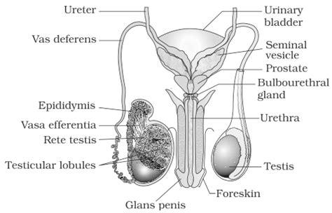 ncert solutions  class  ch  human reproduction
