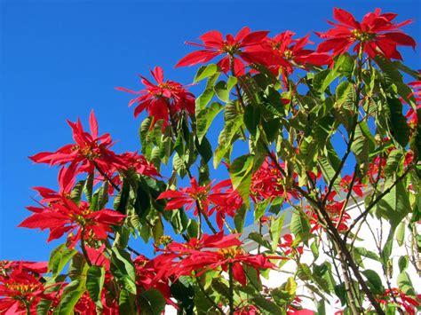 poinsettia euphorbia pulcherrima is a shrub or small tree