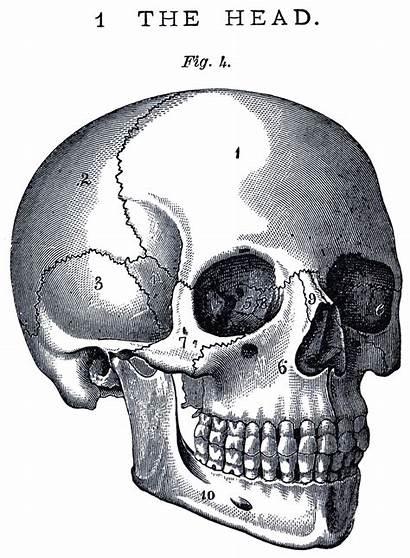 Skull Anatomy Graphics