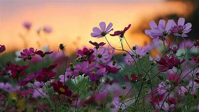 Daisy Background Backgrounds Flowers Flower Pink Wallpapers