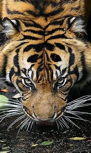 eye of the tiger by jonaspeterson, via Flickr | Tiger ...