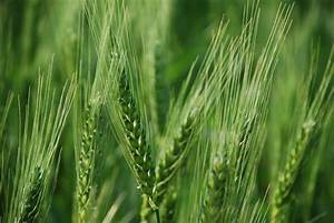 Early wheat | From Sand Creek
