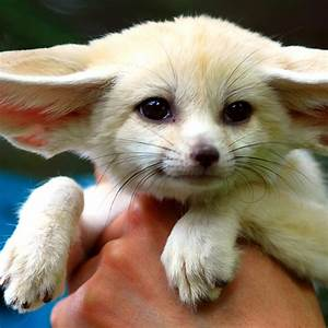 Fennec Fox | Cuteness Overflow
