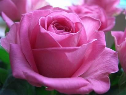 Pink Rose Things Wallpapers Mawar Roses Rosas