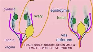 Homology In Male  U0026 Female Reproductive Systems