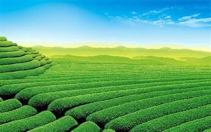 Tea Field Wallpapers 1920 Latest 1200 Hdlatestwallpaper
