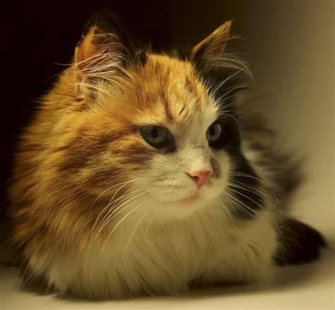 calico names calico cat names 120 great ideas for naming your calico kitty