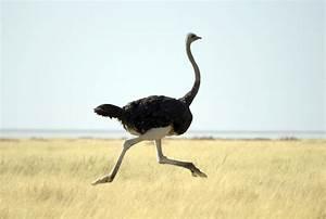 Ostrich | How Fast is an Ostrich?