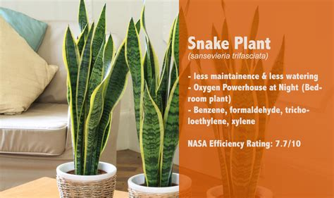 Snake Plant Benefits 12 Air Cleaning Houseplant By Nasa Will Make You Healthy