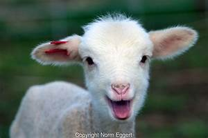 A Very Happy Lamb Smiling | Norm Eggert Photography