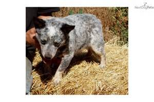 australian cattle dog puppies for sale oregon dog breeds