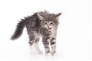 why do cats hiss all about cat hissing why do cats hiss catster