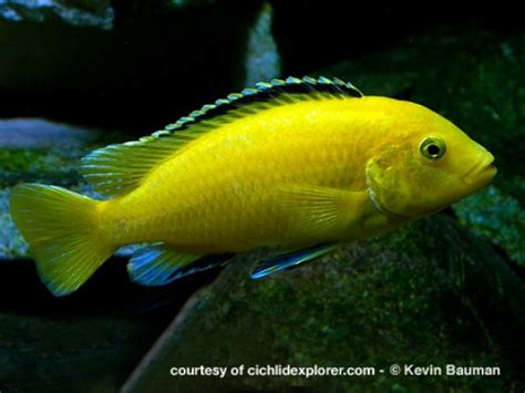 most colorful cichlids colorful tropical fish