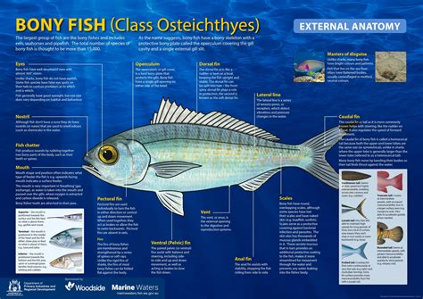 poster bony fish external anatomy including information department of primary industries