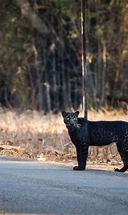 Top 6 wildlife sanctuaries to spot a Black Panther in India
